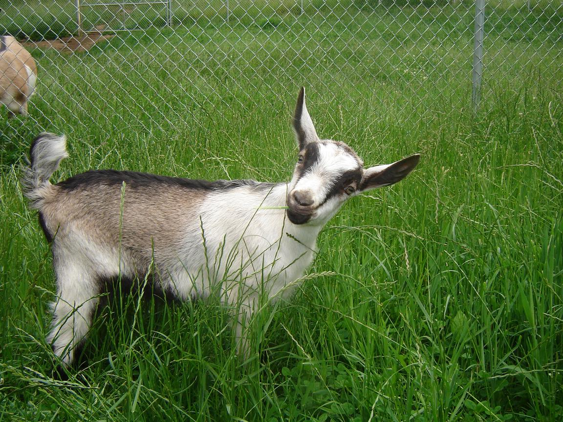 Alpine dairy goats, goat keeping - Three Willows Ranch Alpine Goat