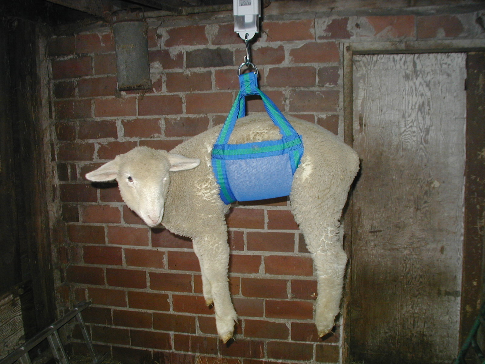 http://www.threewillowsranch.com/sheep_goat_hanging_scale_with_sling.JPG